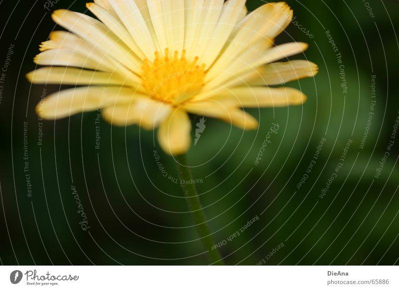 silent Natur grün Pflanze Blume gelb Garten weich zart Stengel Ringelblume