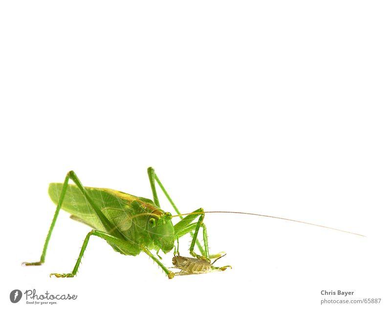 Hab Dich! Insekt Jagd Heuschrecke Steppengrashüpfer Assel Grünes Heupferd Kellerasseln