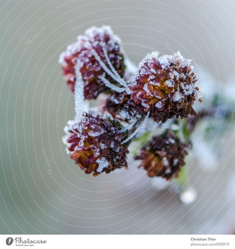 Winterfrost II Umwelt Natur Eis Frost Schnee Blume Blüte Grünpflanze Topfpflanze Kristalle Wasser träumen verblüht dehydrieren frisch natürlich schön wild gold