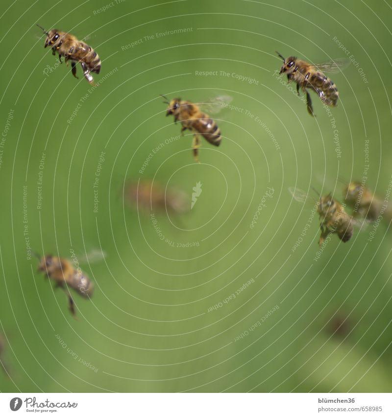 Fliegen ist schön!!! Tier Nutztier Biene Honigbiene Insekt Schwarm Arbeit & Erwerbstätigkeit fliegen tragen ästhetisch klein Tierliebe Tierlaute