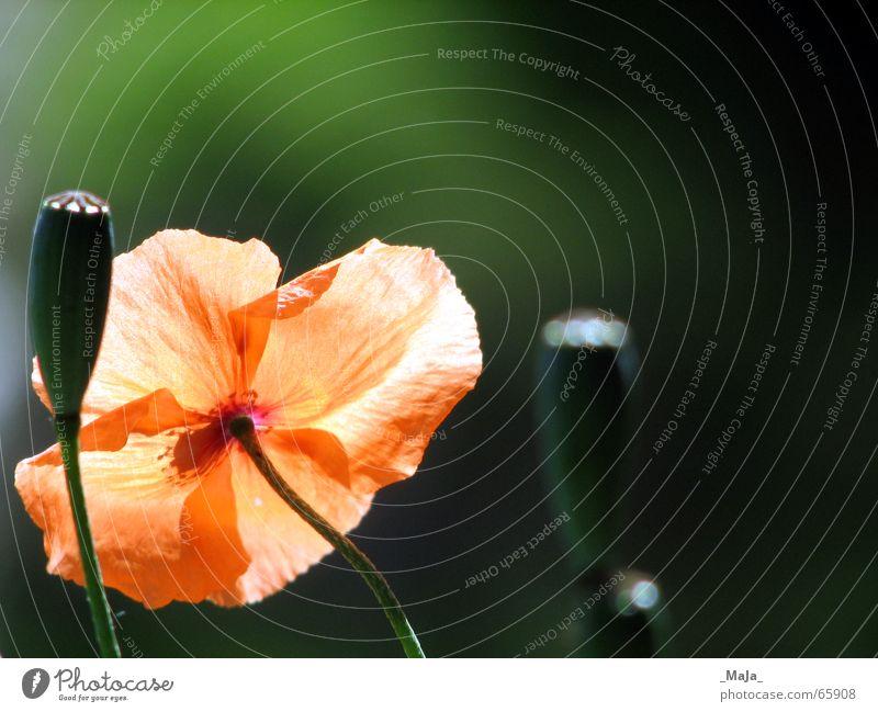 leuchtend Natur Blume grün Pflanze Wiese Garten orange Mohn