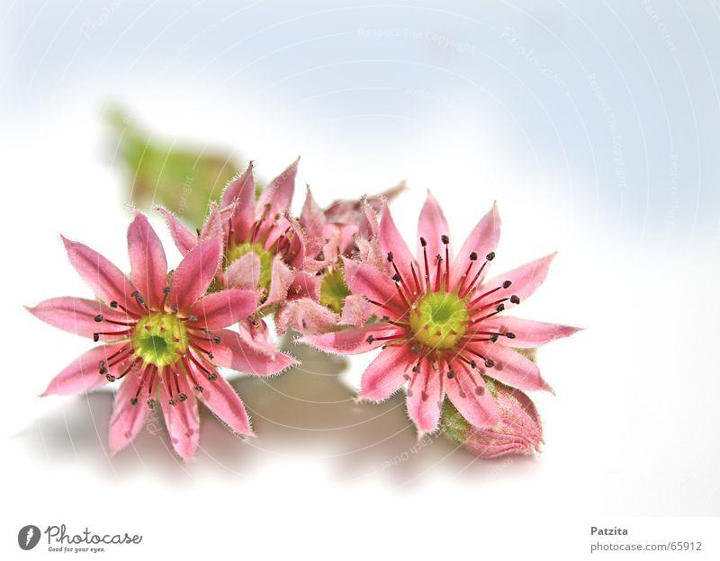Blümchen Blume Wiese rosa Makroaufnahme Nahaufnahme schön Garten Himmel