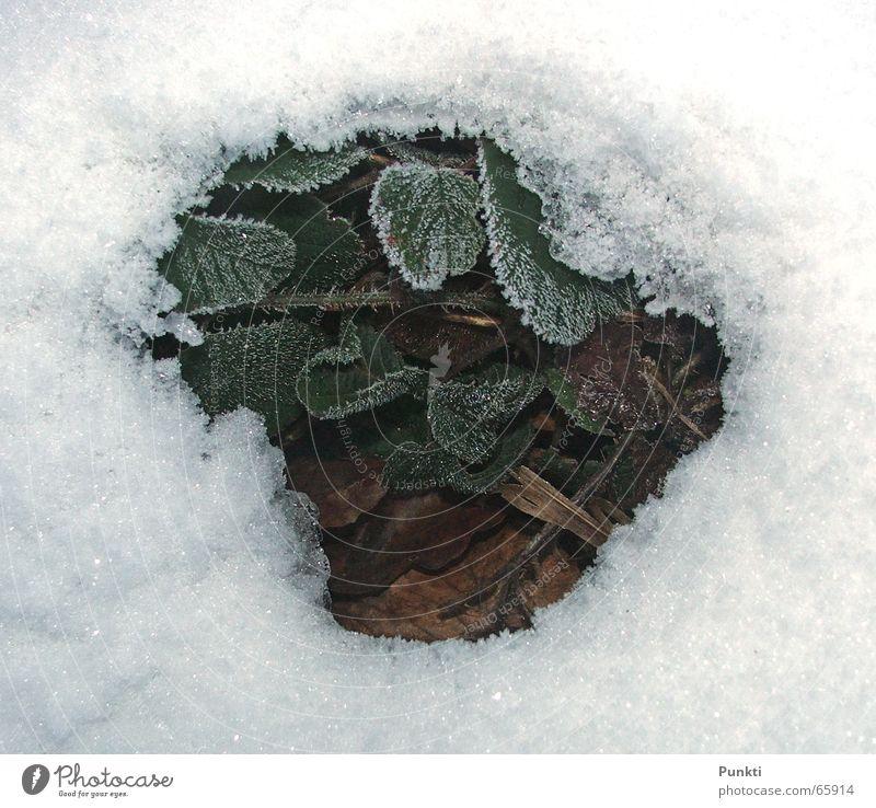Frühling grün Pflanze kalt Schnee Eis Hintergrundbild Frost Erdbeeren