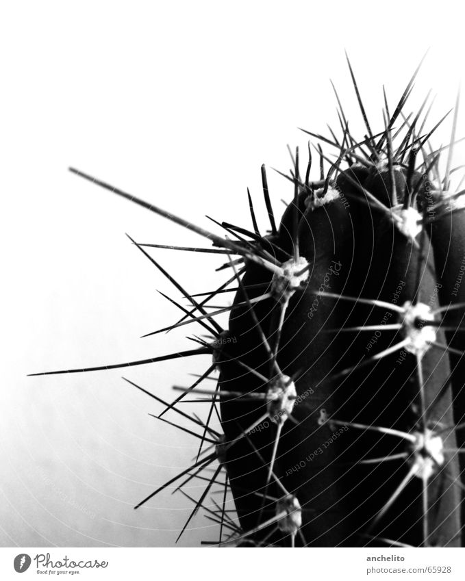 Ein Dorn im Auge Kaktus schwarz weiß Grauwert Monochrom Makroaufnahme Schwarzweißfoto Wüste cactus black white greyscale Stachel barbed spike spikes barbs