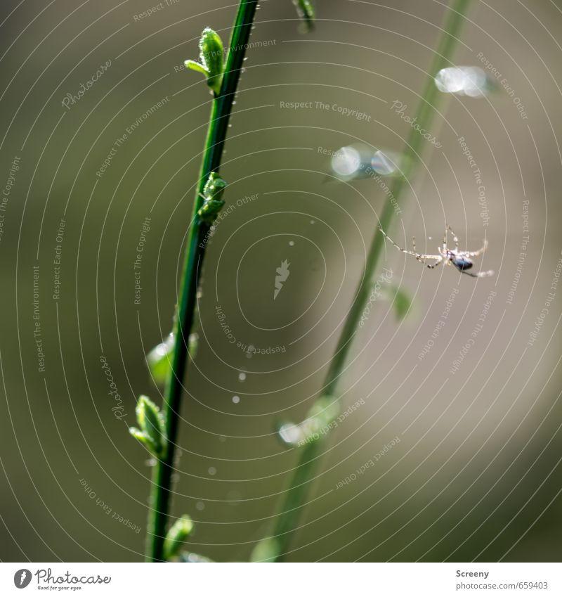 Sie spannt den Bogen... Natur Frühling Pflanze Sträucher Blattknospe Wald Spinne dünn grün Gelassenheit geduldig ruhig Spinngewebe Klettern Zweige u. Äste