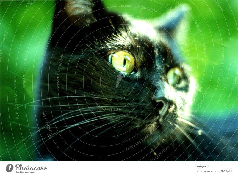 Ach Gottchen grün Sommer Blatt schwarz Garten Katze Park Vogel Bart Haustier Leopard Stofftiere Miau