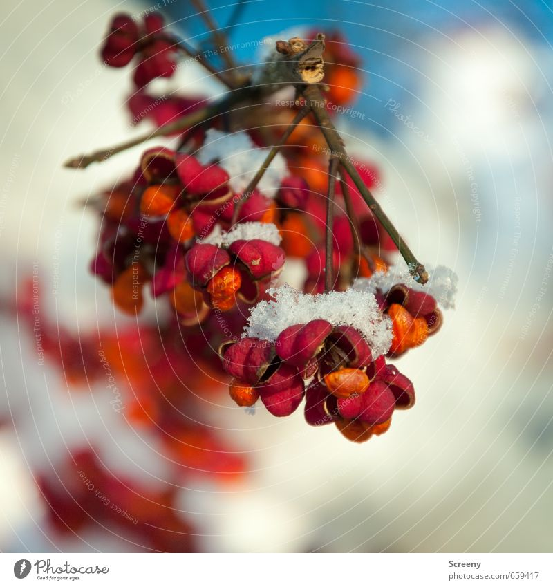 Winterstimmung Natur Pflanze rot Winter kalt Schnee Eis Park orange Frucht Sträucher Vergänglichkeit Ast Frost Blütenknospen