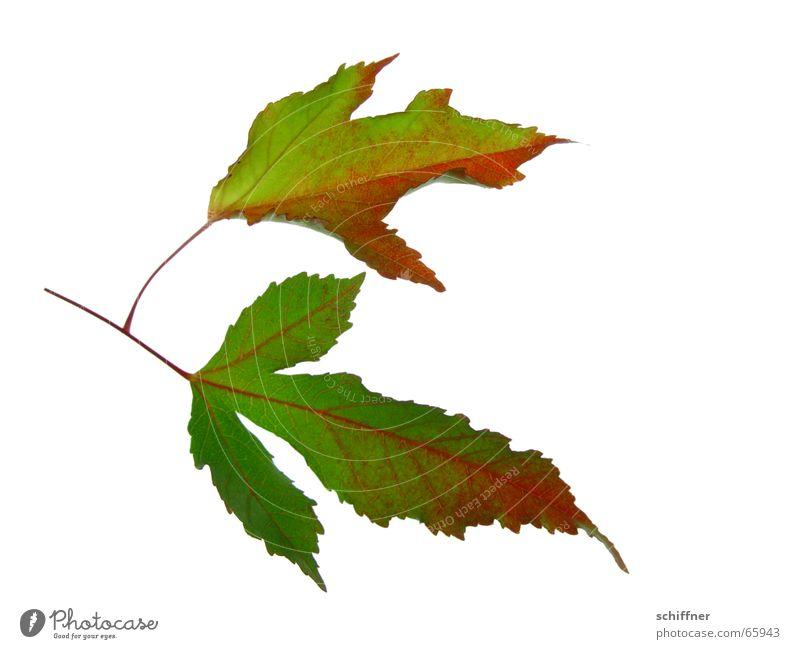 Herbstlaub III mehrfarbig Freisteller Blatt Zusammensein gelb rot Indian Summer Reihe herbstlich alt Jahreszeiten leuchtende Farben Ehe Ende
