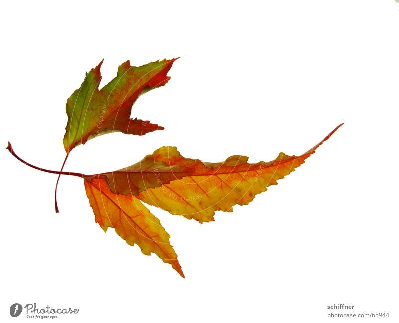 Herbstlaub IV mehrfarbig Freisteller Blatt Zusammensein gelb rot Indian Summer Reihe herbstlich Herbstfärbung paarweise leuchtende Farben