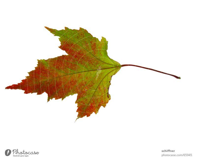 Herbstlaub V grün rot Blatt Einsamkeit gelb Zusammensein Stengel Reihe Freisteller einzeln Färbung herbstlich Indian Summer