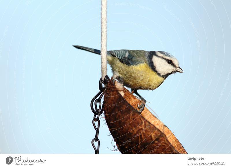 Blaumeise auf einem Schmalzfutterautomat schön Winter Garten Natur Tier Himmel Vogel füttern klein niedlich wild blau gelb weiß Farbe Titte Zuführung Kokosnuss