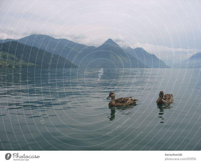 romantische Enten See Wolken schlechtes Wetter Reflexion & Spiegelung Schweiz Vierwaldstätter See Romantik Luft Wasser Berge u. Gebirge Liebe