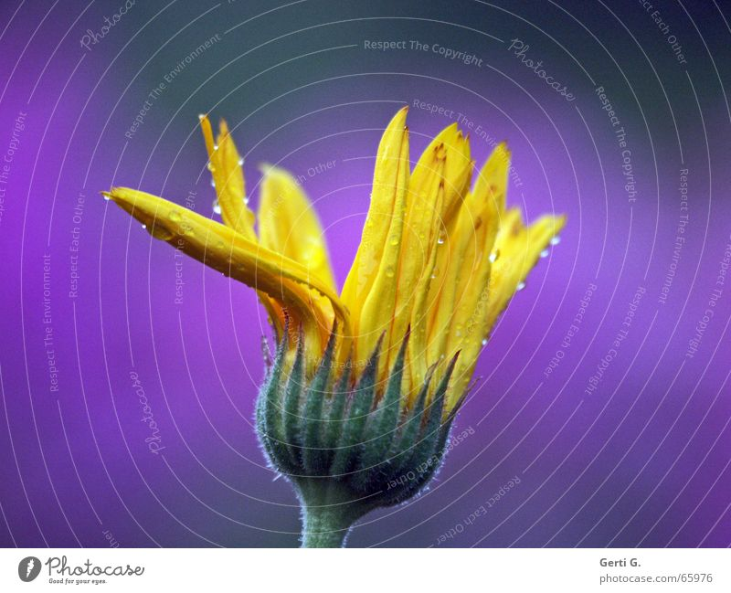 das kannste knicken Natur Wasser Blume grün gelb Blüte Regen Wassertropfen nass Seil violett Blühend Blütenknospen Blütenblatt quietschgelb
