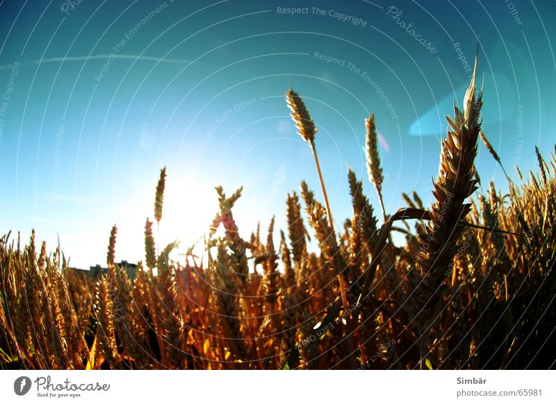 Corn of Wheat Pflanze Natur Himmel horizontal Sommer Physik field grain wheat plantlife farming agriculture argricultural natural sky barley blue cereal clear