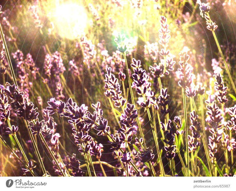 Lavendel Sonne Freude Garten Frieden Heilpflanzen Jasmin Oleander