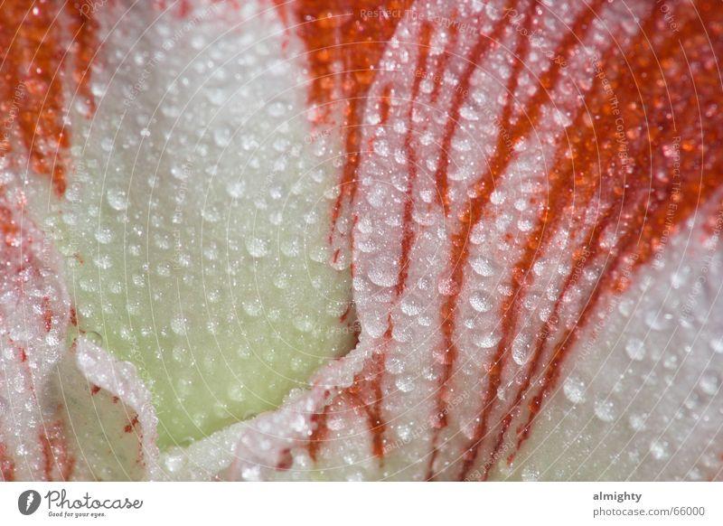Blütentropfen Natur Blume rot Blüte Regen Wassertropfen Seil