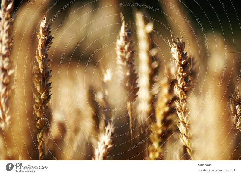 Corn of Wheat III Pflanze Natur Sommer Physik cereal grain wheat Detailaufnahme plantlife field farming agriculture argricultural natural barley blue clear
