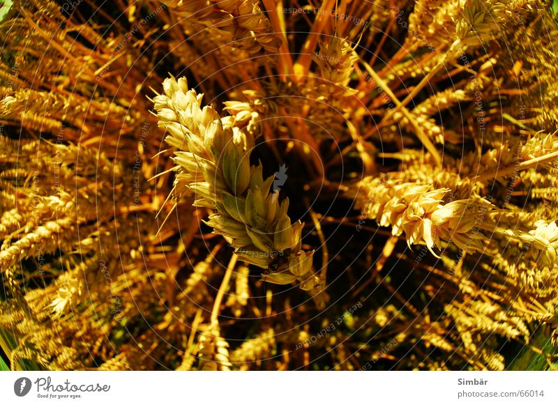 Corn of Wheat IIII Pflanze Natur Sommer Physik cereal grain wheat Detailaufnahme plantlife field farming agriculture argricultural natural barley blue clear