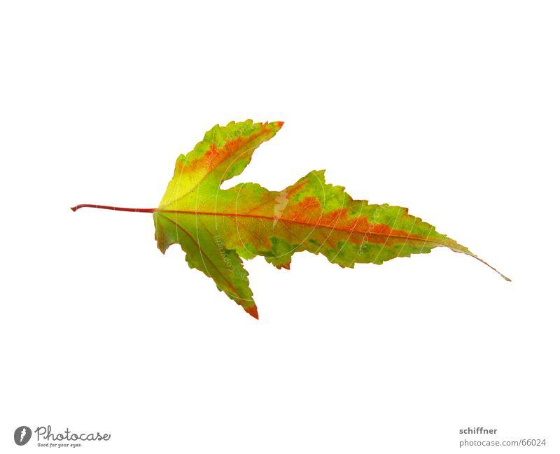 Herbstlaub VI mehrfarbig Freisteller Blatt gelb rot Indian Summer Reihe herbstlich Färbung leuchtende Farben Stengel einzeln Einsamkeit schön