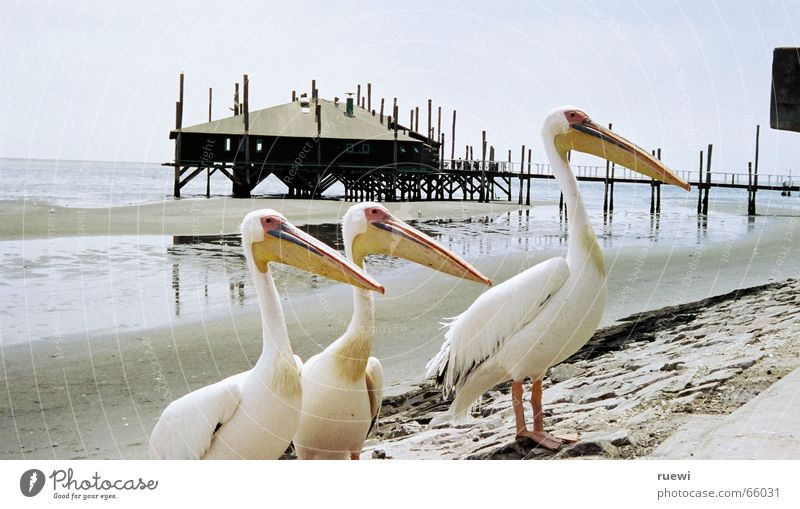 Fisch? Ernährung Strand Meer Tier Sand Küste Walvisbay Namibia Afrika Vogel Pelikan 3 Tiergruppe Begierde Lust Appetit & Hunger Sehnsucht Gier Wunsch