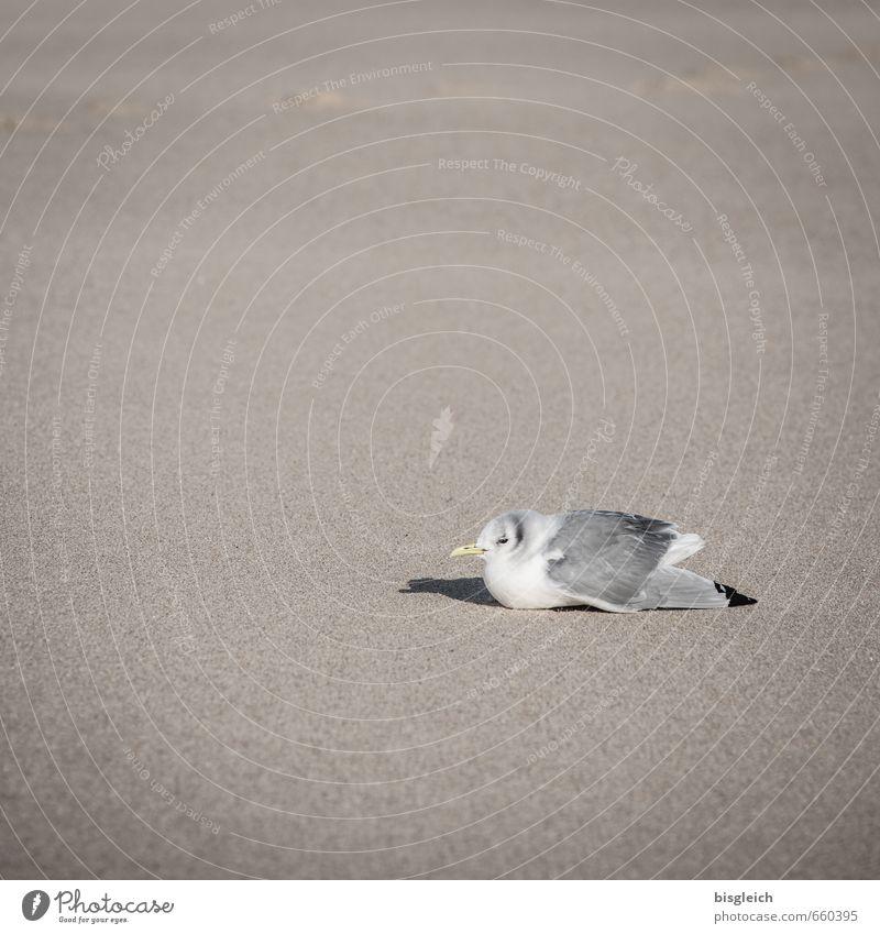 Sylt XVII weiß Erholung Tier Strand grau Sand braun Vogel sitzen Möwe