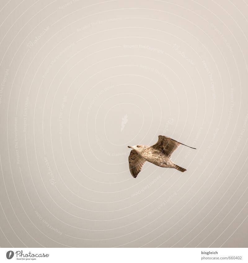 Sylt XVI Himmel Tier Ferne grau Freiheit braun Vogel fliegen Möwe