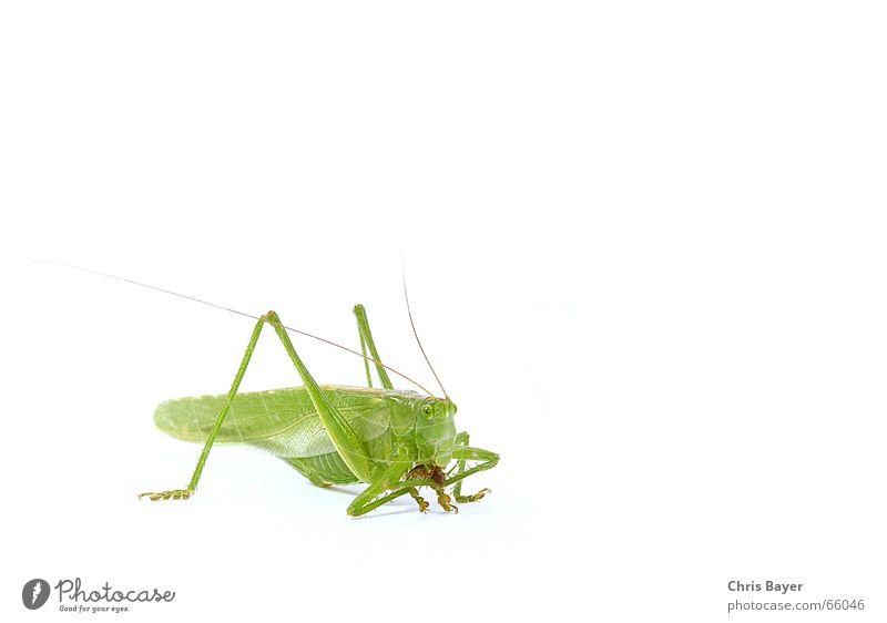 Mahlzeit ! Ernährung Lebensmittel Insekt Jagd Fressen Heuschrecke Steppengrashüpfer Assel Grünes Heupferd Kellerasseln