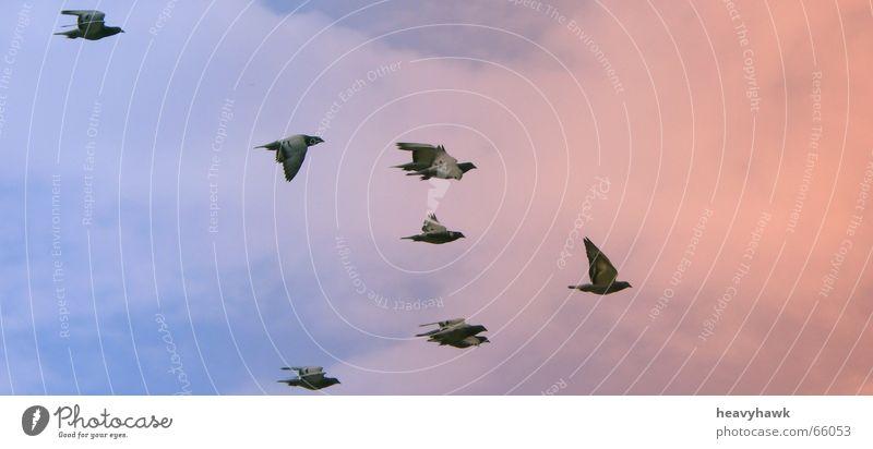 the fly into the sunset Vogel Taube Luftverkehr Schwarm mehrere Abenddämmerung fliegen Himmel