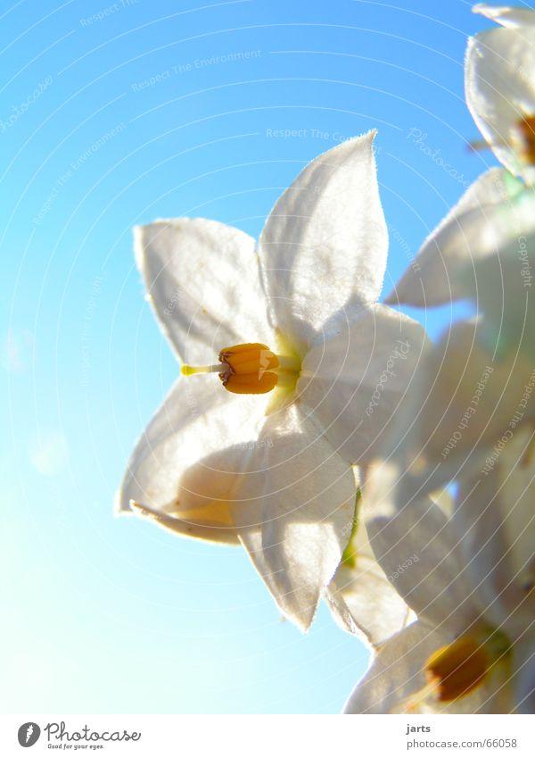 Reinweiß Blume Blüte Licht weiße blüte Stern (Symbol) Himmel Sonne blau Natur jarts