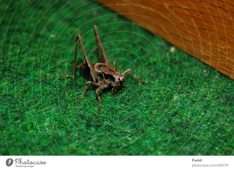 Grashüpfer Insekt Heuschrecke Tier klein Makroaufnahme nikon d50 mir fällt nix mehr ein lalala