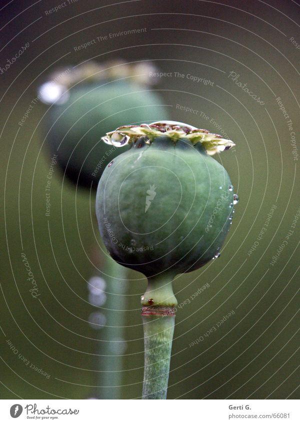 dos Mohnkapsel 2 frisch grün zart Stengel Pflanze schon wieder mohnkapseln tröpfchen Wassertropfen hintergrundunschärfe Natur das waren noch nicht die letzten
