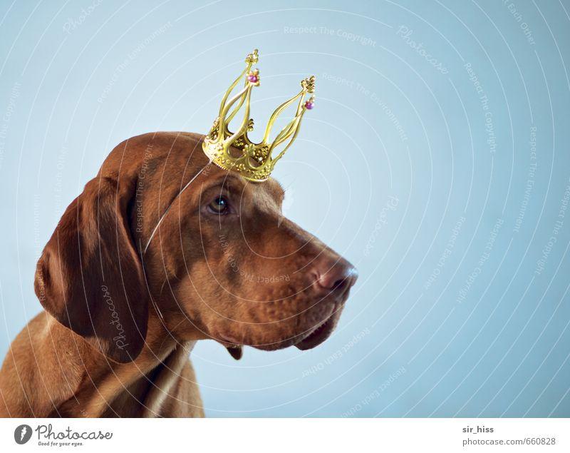 STUDIO TOUR | Ben ist der King Hund blau schön Kopf braun elegant gold authentisch Erfolg verrückt warten Gold einzigartig niedlich Zeichen berühren