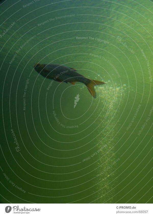 Wenn Angler träumen... II Meer See Licht grün Algen Luftblase Tier Lebewesen Lebensraum Wasser Fluss Bach Fisch Unterwasseraufnahme Schwimmhilfe sea fish water