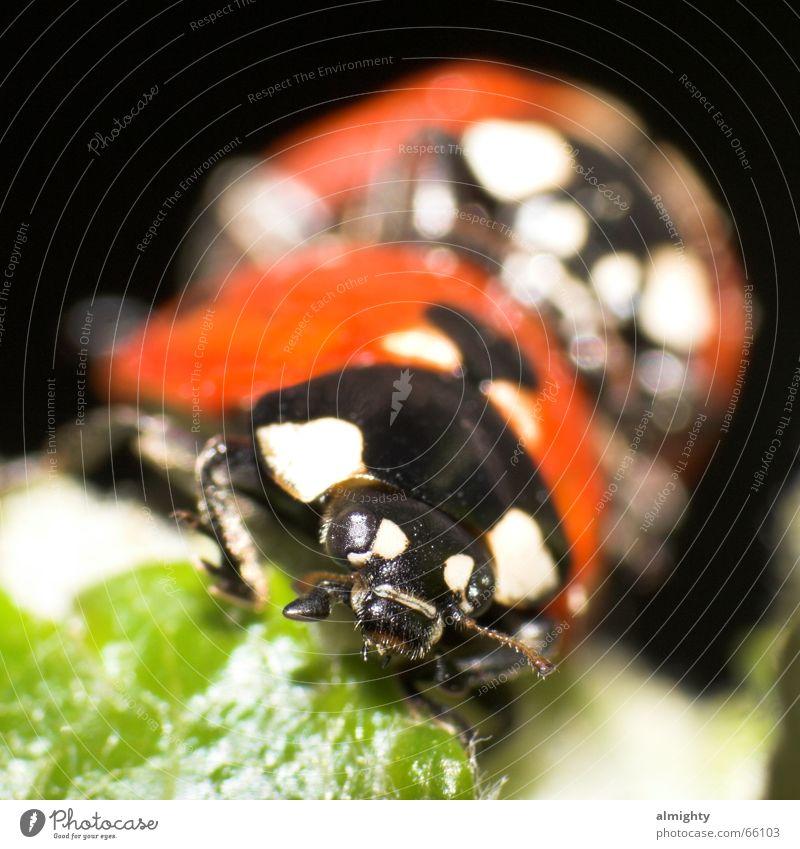 Stichprobe Insekt grün rot Käfer liebesspiel Makroaufnahme Nahaufnahme