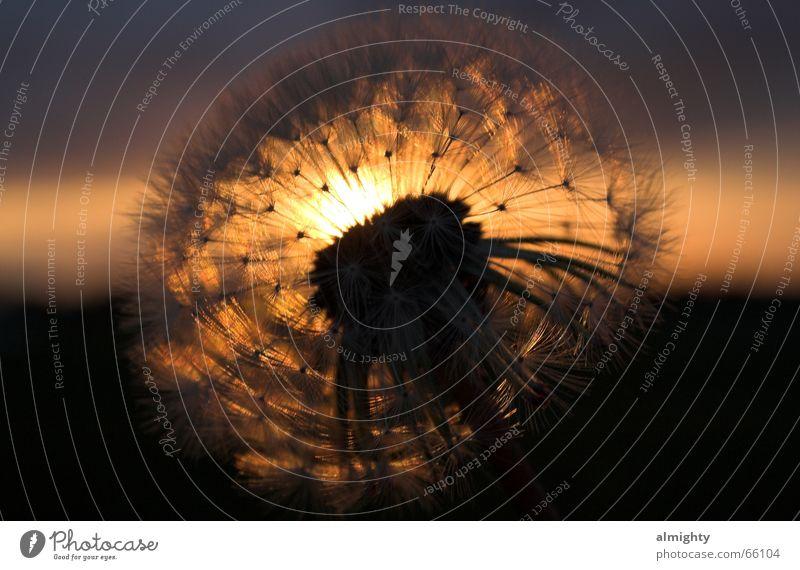 Pusteblume Löwenzahn Sonnenuntergang Abenddämmerung Gegenlicht Silhouette verblüht