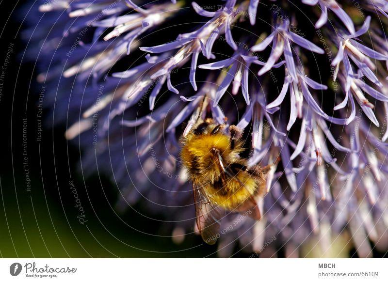 Sammeln Blume schwarz Auge gelb Blüte Beine Flügel violett Fell Sammlung Fühler Hummel Biene Staubfäden Distel Nektar
