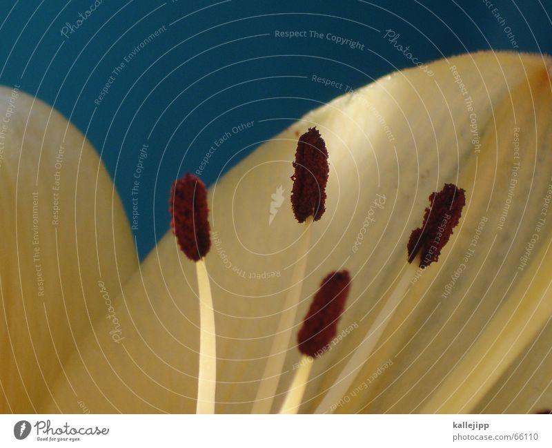 die fantastischen vier Lilien Blume Makroaufnahme Blüte Pollen Honig Mikrofon Natur Stempel Bioprodukte kallejipp
