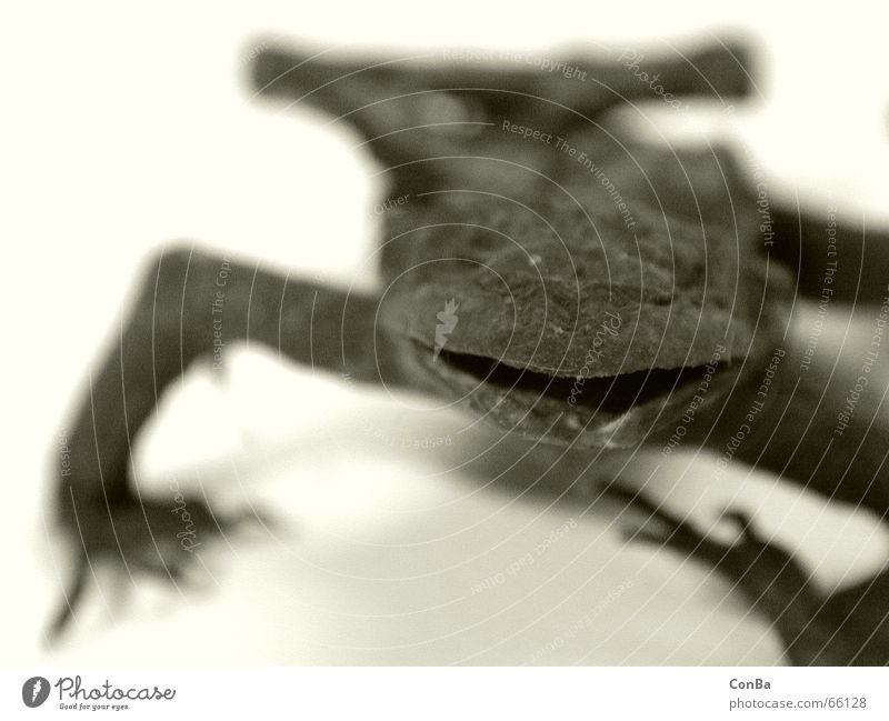 Der Frosch danach Tier Tod trocken Tiefenschärfe getrocknet Lurch schleimig konserviert