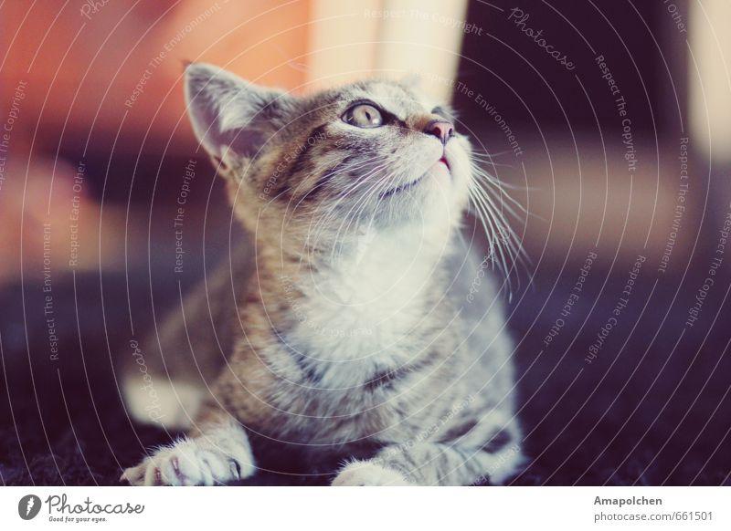 ::14-1:: Katze Tier Tierjunges Auge Liebe grau Wohnung liegen Zufriedenheit Neugier entdecken Fell Haustier Tiergesicht Hauskatze Pfote