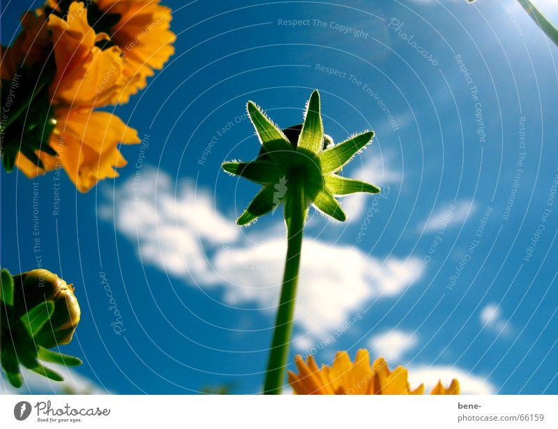 Blumenschein Himmel Pflanze Wolken gelb