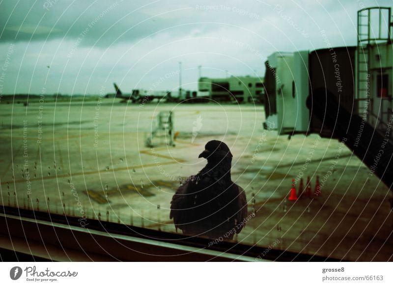 Abflug Taube Fenster Rollfeld dunkel Vogel Miami Flughafen
