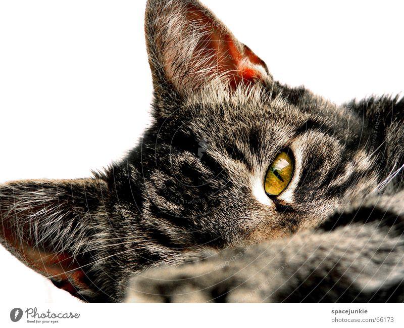 just a cat (2) Katze Tier Katzenkopf Haustier Hauskatze Außenaufnahme Fell Wildnis Wildkatze Raubkatze Pfote Katzenpfote Auge Katzenauge Blick katzenfell