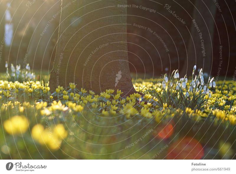 FRÜÜÜÜÜÜÜHLING!!!!! Natur Pflanze Baum Landschaft Blume Umwelt Wärme Frühling Blüte natürlich hell Garten Park Schneeglöckchen Frühblüher Winterlinge