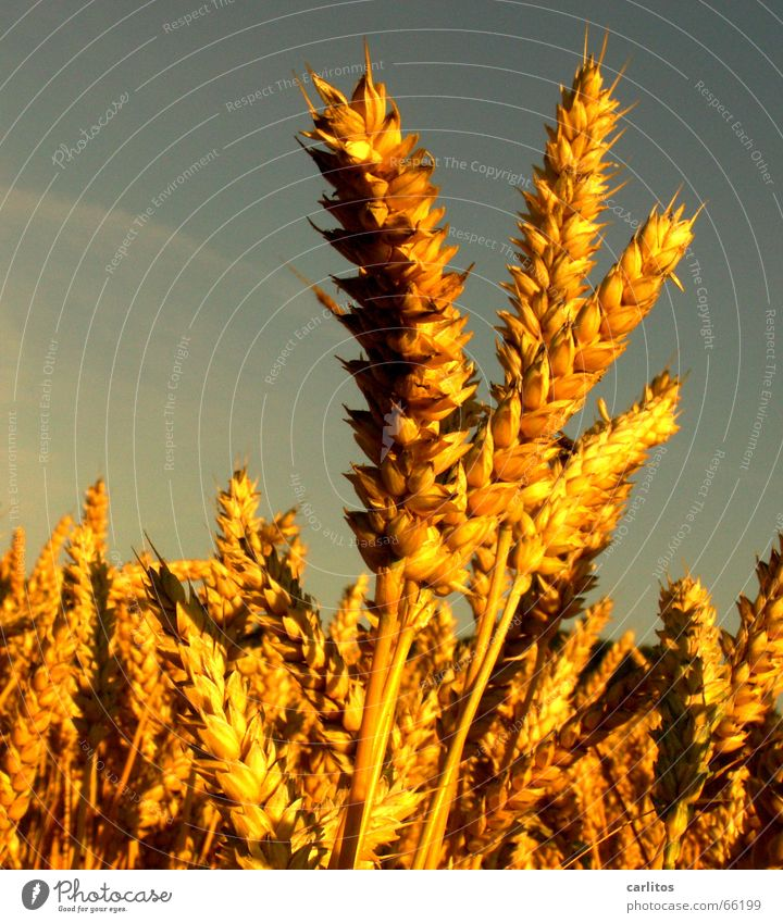 8° sind am besten Sommer Feld verrückt Getreide Landwirtschaft Bier Ernte Korn Schönes Wetter Weizen Weißabgleich Weizenbier