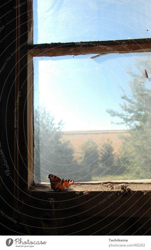 Der einsame Schmetterer Schmetterling Einsamkeit Fenster gefangen Insekt Trauer Baum kaputt Staub Traurigkeit alt dreckig