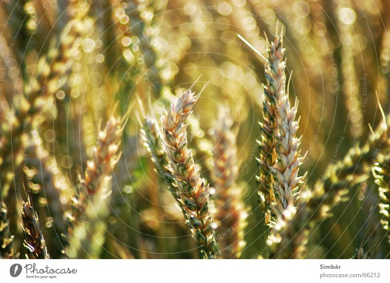Corn of Wheat IIIIIIIII Pflanze Natur Sommer Physik cereal grain wheat Detailaufnahme plantlife field farming agriculture argricultural natural barley blue