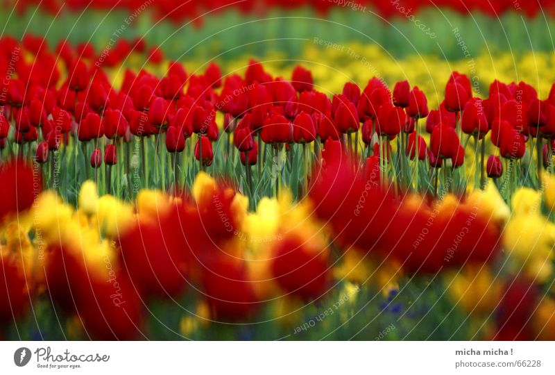 Schicht-Tulpen Blume Blüte Frühling rot gelb grün nah Ferne Unschärfe mehrfarbig Blühend blau