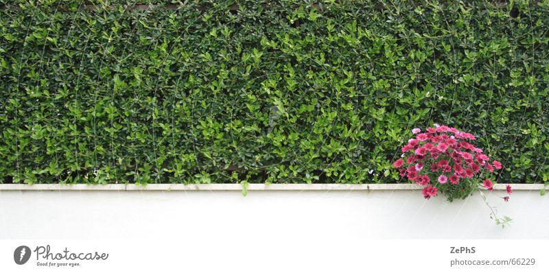 greenwall Sträucher grün purpur Wand Blume bush purple flower Mauer