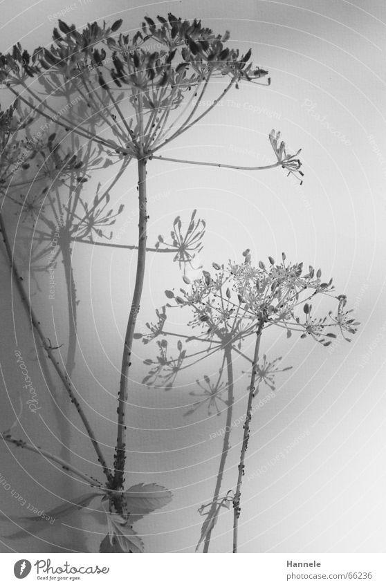 zerbrechlich Blume Pflanze Blüte Wiese Ameise schwarz weiß leicht filigran Leichtigkeit verblüht Garten Natur Schatten Schwarzweißfoto hell