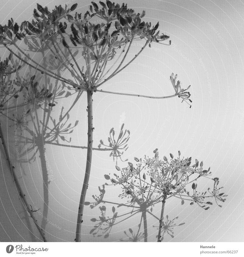 zerbrechlich -ausschnitt- Blume Pflanze Blüte Wiese Ameise schwarz weiß leicht filigran Leichtigkeit verblüht Garten Natur Schatten Schwarzweißfoto hell